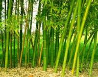 Bamboo That Grows in Canada