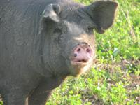 Natural Pork Products